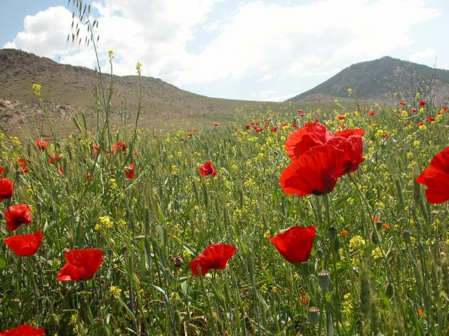 Wheat Field and Poppies, Amghas, Morocco